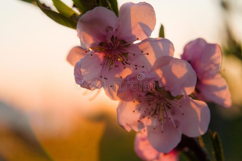 Pink cherry blossom tree in spring bloom stock photo