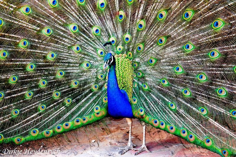 Wonderful colors. I captured this wonderful male Peacock at Aquila Private Game Reserve with my Samsung NX30. As a young boy, I never have the change to see a stock photos