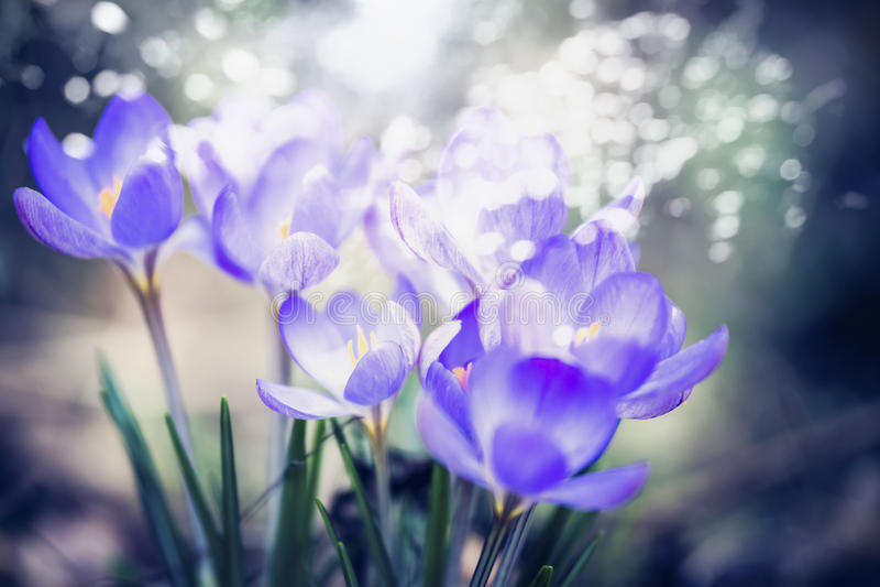 Wonderful crocuses blooming, spring outdoor nature background, close up. Bokeh lighting stock image
