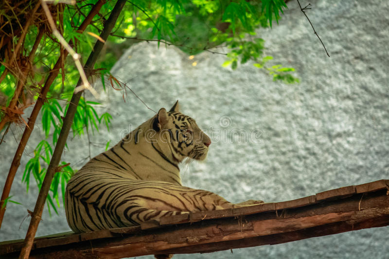 Wonderful cute white tiger stock photography