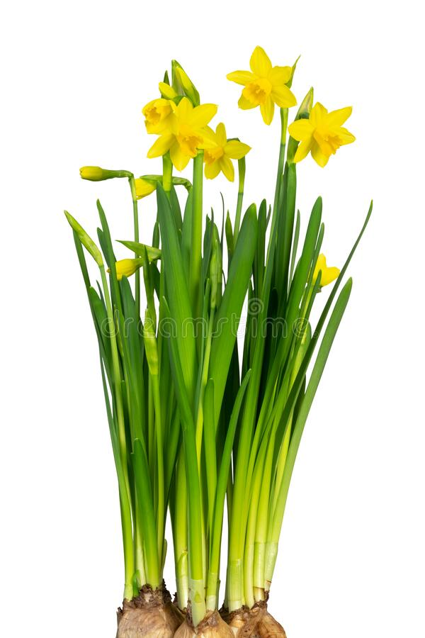 Wonderful Daffodil Narcissus, Daffodil, Amaryllidaceae isolated on white background, including clipping path. Beautiful Daffodil Narcissus, Daffodil stock image