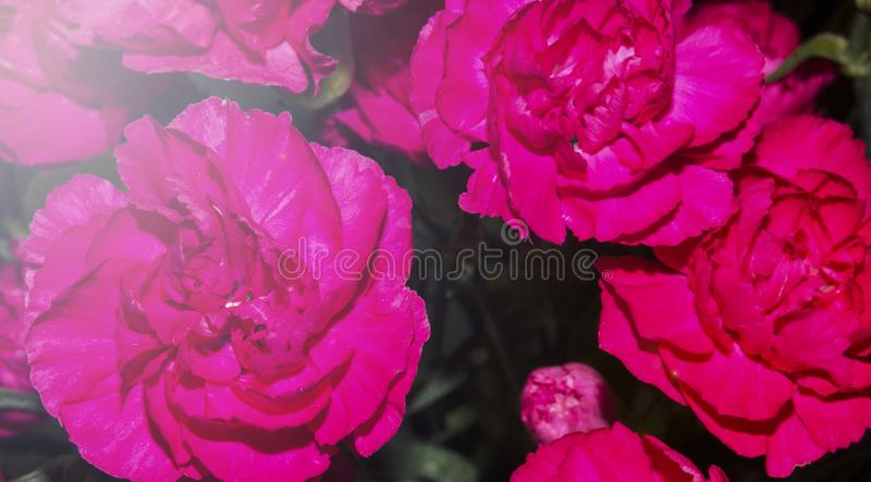 Wonderful design of beautiful pink roses stock photos