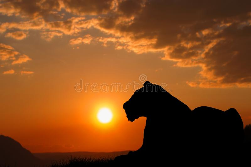 A big tiger silhouette. The tiger is resting and watching the environment. Beautiful sunset and orange sky in the background. royalty free stock photos