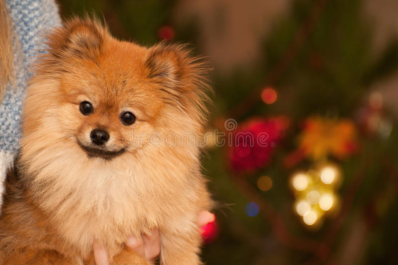 Wonderful dog in front of a Christmas tree with perfect bokeh. The wonderful story about small happy puppy under the Cristmas stock image
