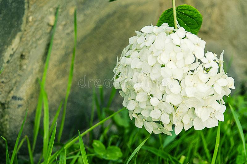 Wonderful flowers of hydrangea with leaves for the wedding feast stock image