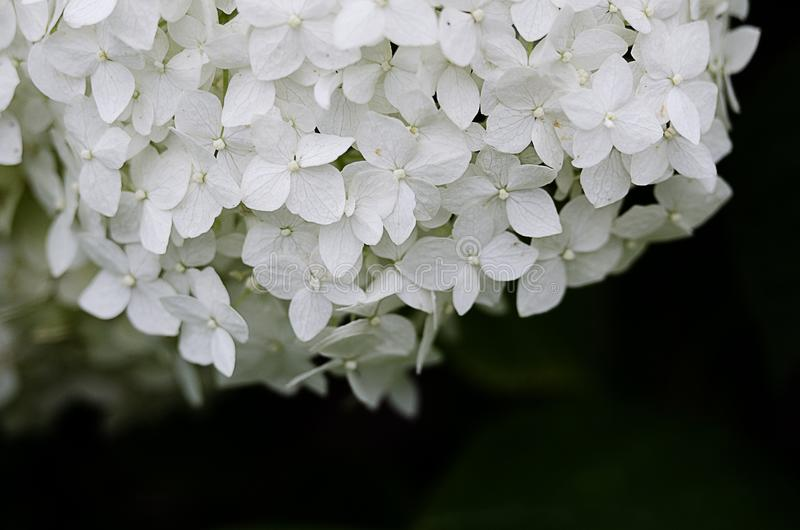 Wonderful flowers of hydrangea with leaves for the wedding feast stock photo