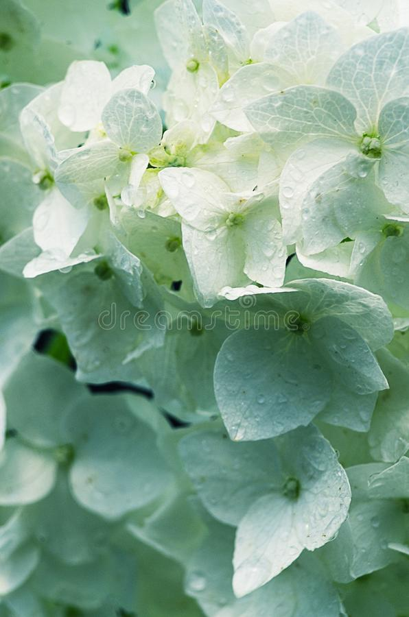 Wonderful flowers of hydrangea with leaves for the wedding feast stock images