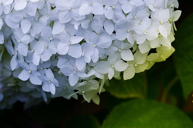 Wonderful flowers of hydrangea with leaves for the wedding feast royalty free stock photography