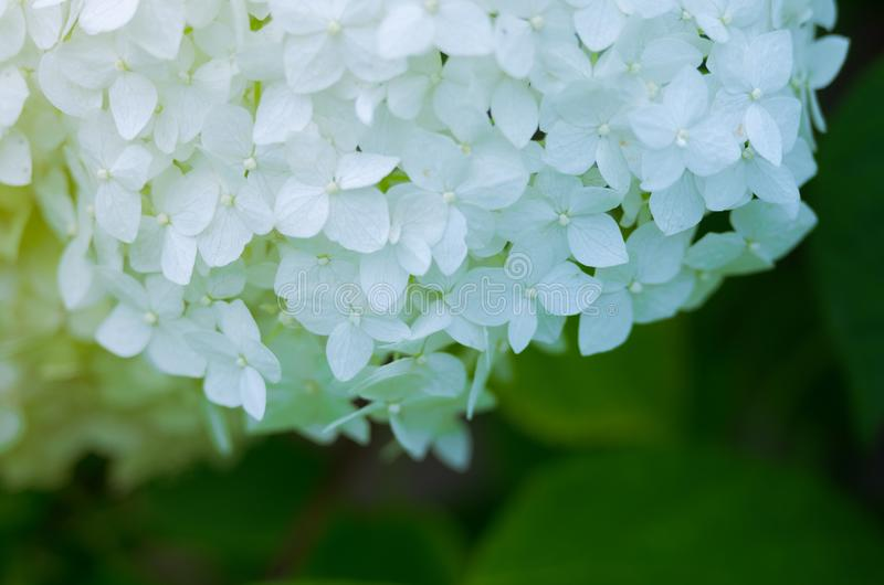 Wonderful flowers of hydrangea with leaves for the wedding feast royalty free stock photo