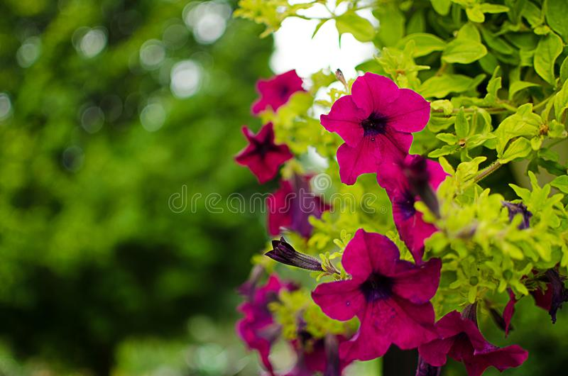 Wonderful flowers of petunia blossom in a cushion in the summer stock photo