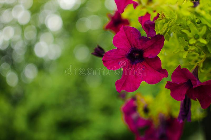 Wonderful flowers of petunia blossom in a cushion in the summer stock images