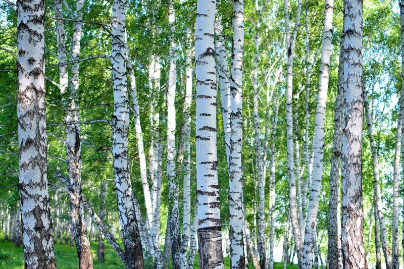Wonderful forest of birch with different beautiful pattern of bark at summer in Russia royalty free stock photo