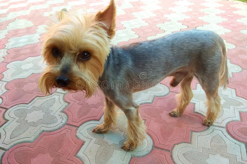 A wonderful, gentle little dog in York royalty free stock photography