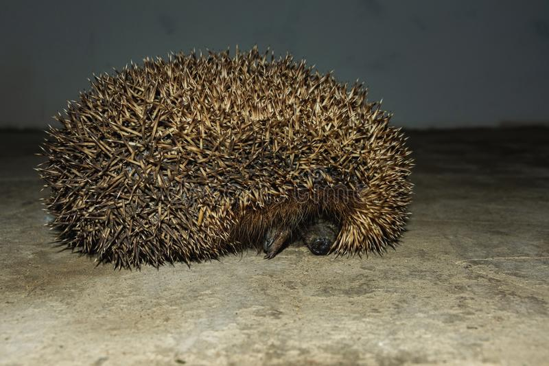 A wonderful hedgehog explores the house and shoots out of it royalty free stock photo