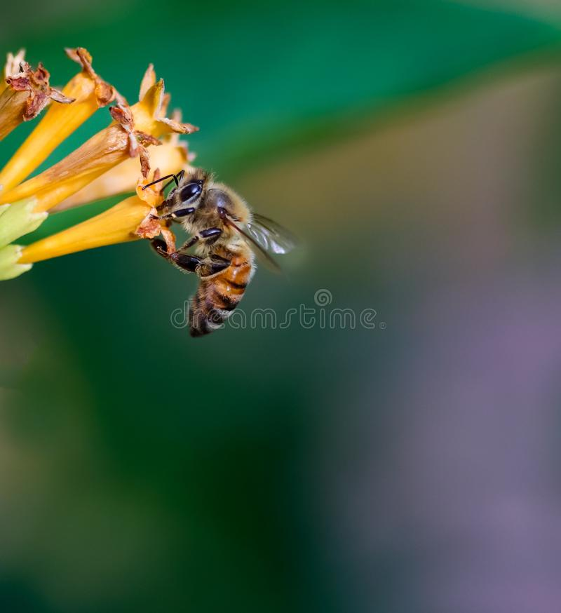 The Wonderful Honey Bee. The beautiful pollinator, honey bee. A honey bee collecting pollen royalty free stock images