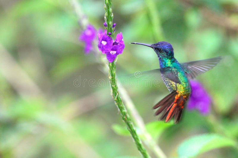 Wonderful Hummingbird in flight, Golden-tailed sapphire, Peru. Wonderful Hummingbird (Golden-tailed Sapphire - Chrysuronia oenone) in flight close to a flower
