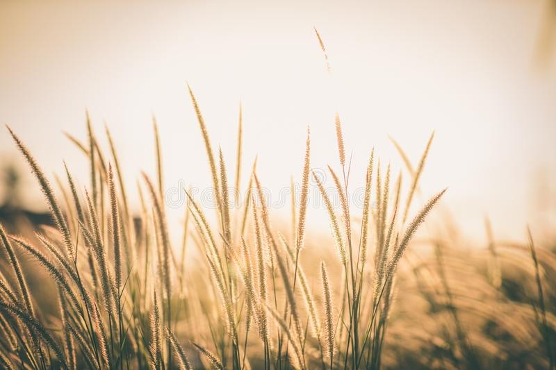 Wonderful landscape from the feather grass field in the evening sunset silhouette. serene feeling concept. countryside scenery atm stock photography