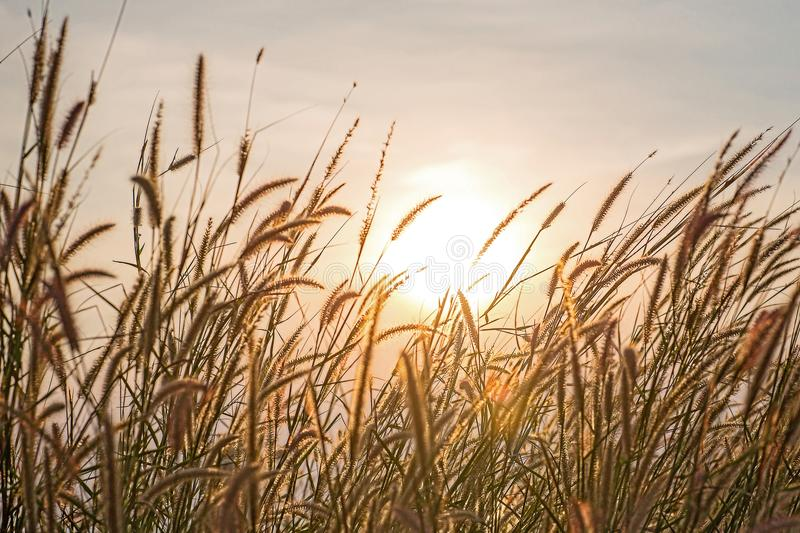 Wonderful landscape from the feather grass field in the evening sunset silhouette. stock photography