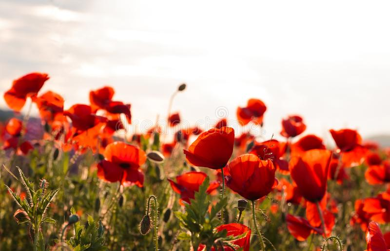 Majestic view on the poppy blooming field on a summer day royalty free stock image