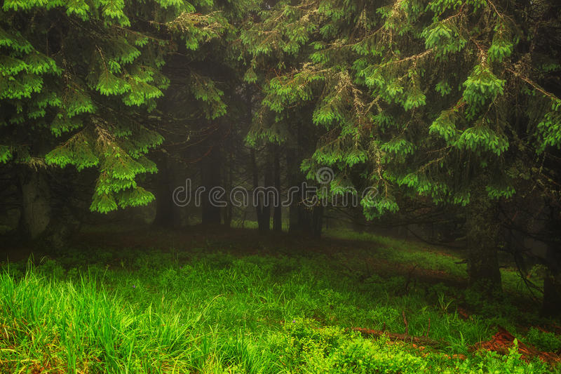 Wonderful landscape of pine forest in mist weather at Carpathian mountains. Ukraine royalty free stock photos