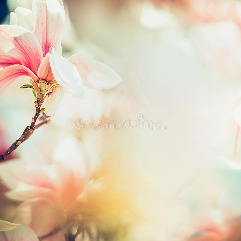 Wonderful magnolia blossom in sun light , springtime nature background, floral border, pastel color royalty free stock photos