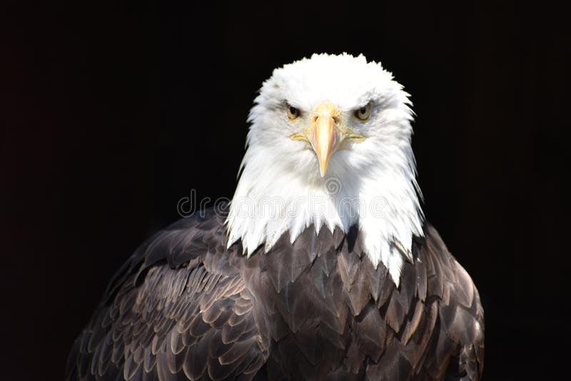 Wonderful majestic portrait of an american bald eagle with a black background. Portrait of the head of a wonderful majestic portrait of an american bald eagle stock photo