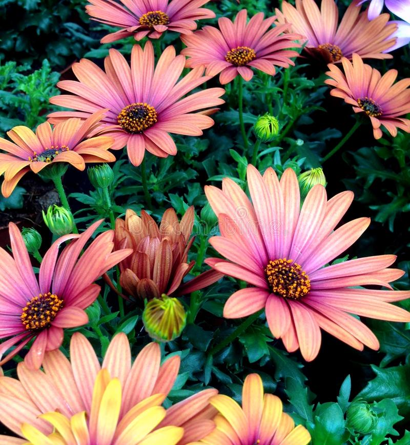 Maroon pink colored Cape Marguerite Daisy flowers. Wonderful maroon pink colored Cape Marguerite Daisy flowers blossoming during summer royalty free stock images
