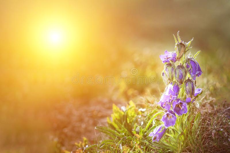 Wonderful mountain landscape with blue lupine flowers. Beautiful natural landscape in the summertime. picturesque dramatic scene. Wonderful mountain landscape royalty free stock image