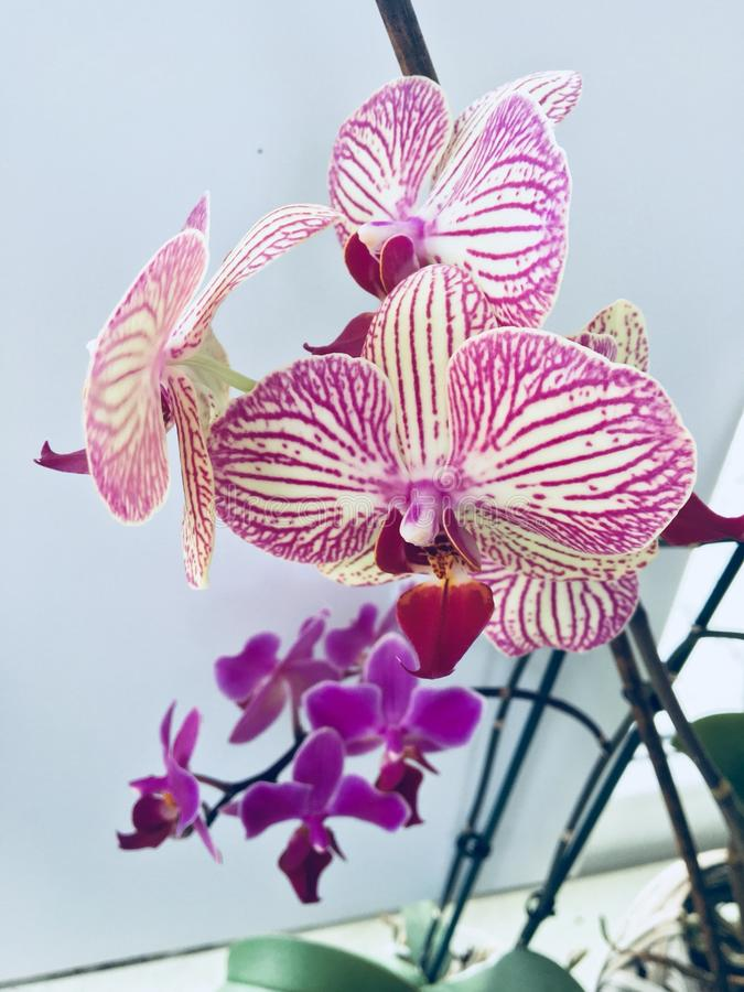 I`m so proud my beautiful purple orchid flower. stock photos
