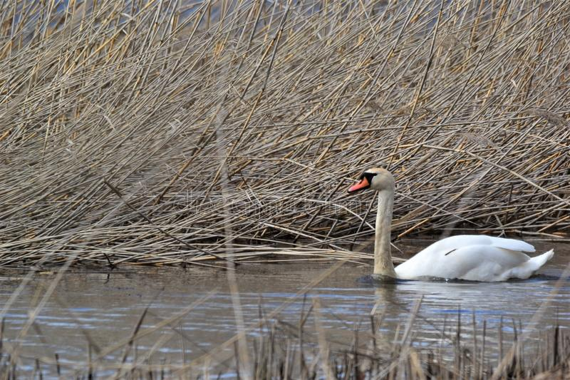 A wonderful Mute Swan swimming in a reed. stock photo