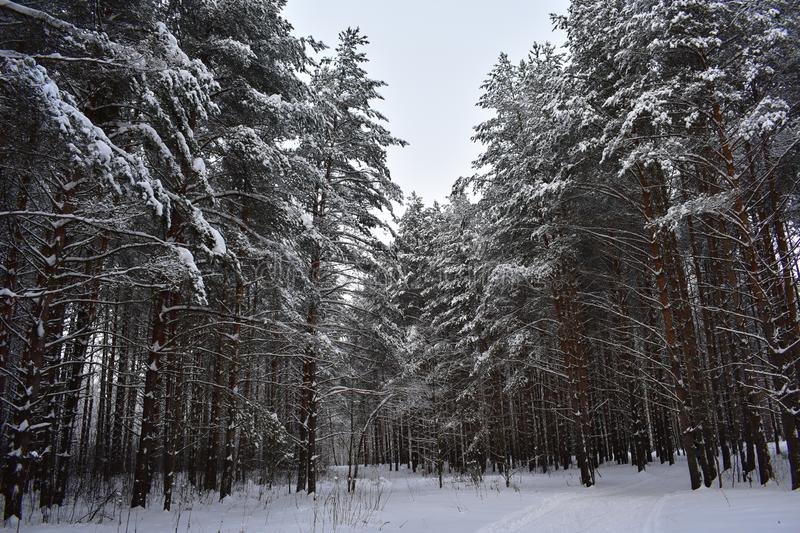 Wonderful mysterious snowy forest this winter. In the forest swept all the tracks stock image