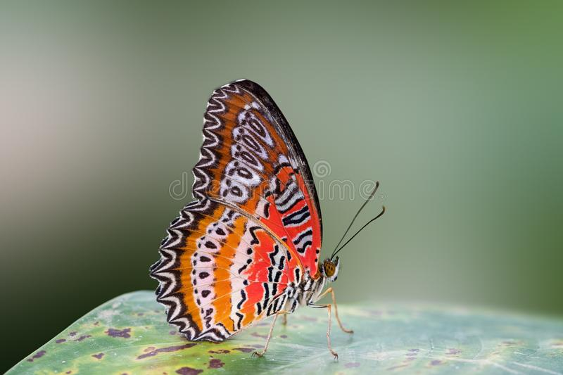 A wonderful orange and red butterfly - side view.  stock photos