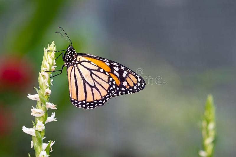A wonderful orange and yellow butterfly - side view.  royalty free stock photos