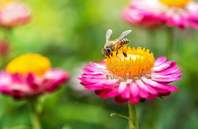 Wonderful photo of a beautiful bee and flowers a sunny day. royalty free stock images