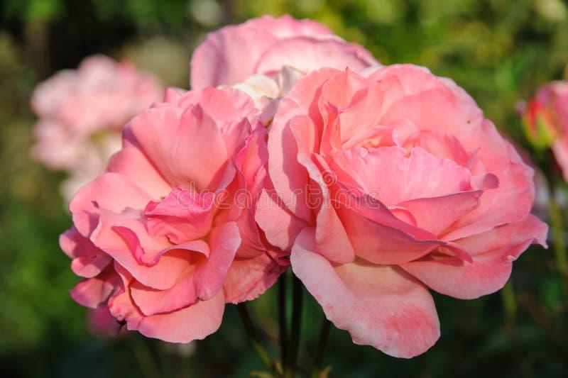 wonderful pink roses royalty free stock images