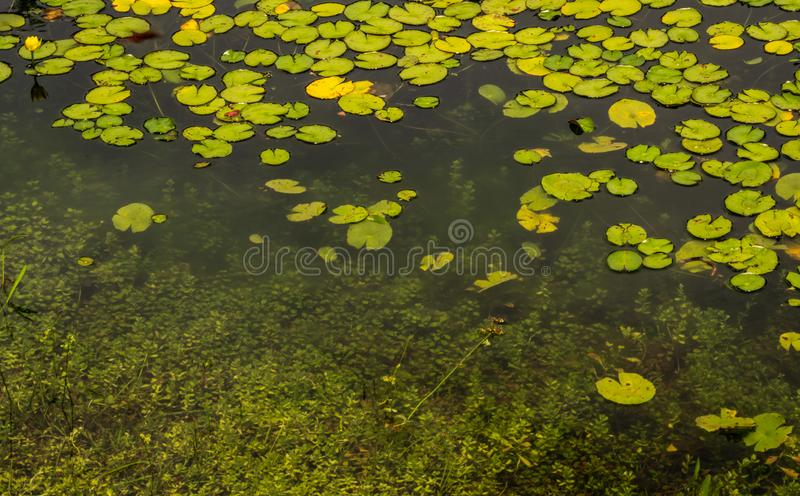 Amazing Flowers and Lily Pads royalty free stock photo