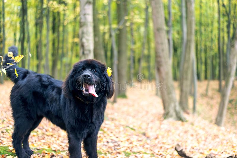 Wonderful portrait of Newfoundland dog in the forest. Wonderful portrait of Newfoundland dog in the autumn forest stock images