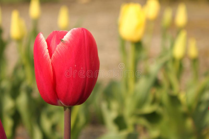 A wonderful red tulip closeup and yellow tulips in the background stock image