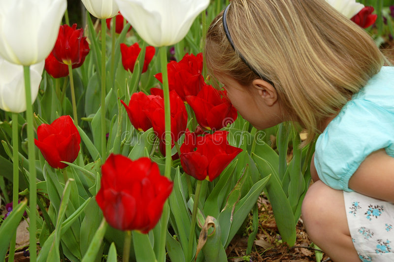 Wonderful Red Tulips. It's springtime for tulips and this little girl bends down to smell a few royalty free stock images