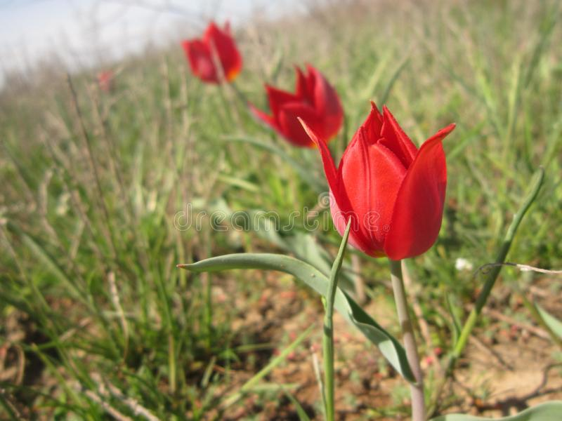 Red tulips, Elista royalty free stock photography