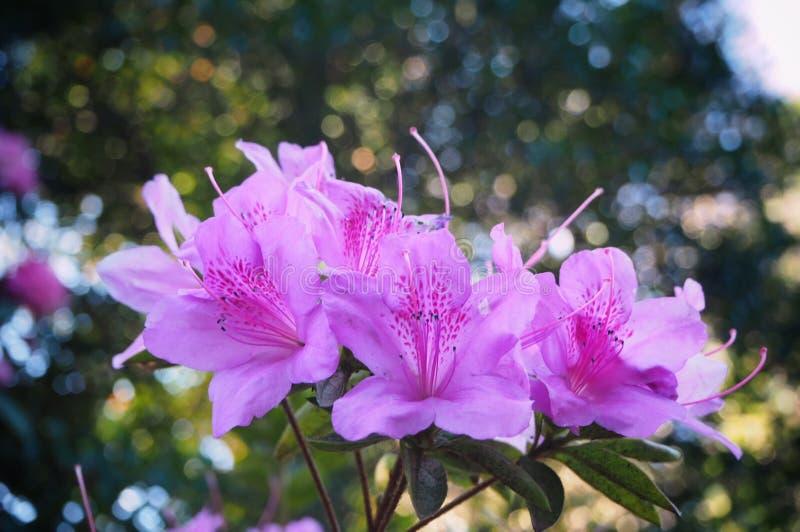 Wonderful rhododendron flowers on bokeh background. At Botanic Garden in Melbourne, Australia. Beautiful Flower royalty free stock photos