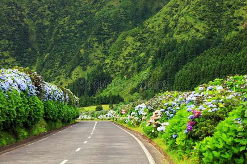 Wonderful road in Sao Miguel Island. Hortensias boarding the road in the volcanic crater lake of Sete Citades in Sao Miguel Island of Azores Portugal royalty free stock photo