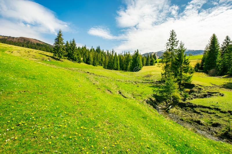 Wonderful springtime weather in mountains. Spruce trees on a grassy meadow. small brook winding down the hill. wonderful and bright weather stock photo