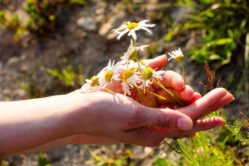 Wonderful summer flowers are embraced by the tender hands of a young girl. Brightly shining sun falls on gentle hands and small fl. Owers. She wants to rip them stock image