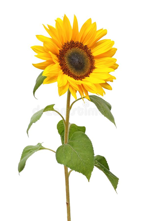 Wonderful Sunflower Helianthus annuus isolated on white background. Germany stock photography