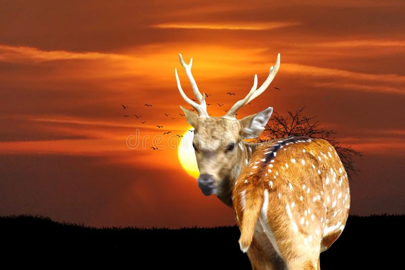 Cool ambiance of the early morning sky. Wonderful sunrise in a deer forest while a deer is looking back as if it is posing for a great shot royalty free stock photos