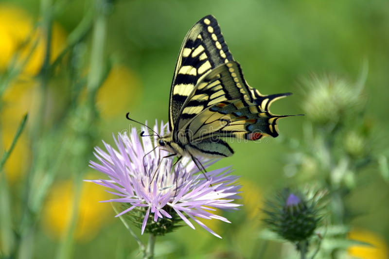 Wonderful Tiger Swallowtail butterfly on pink flower. Tiger Swallowtail butterfly sucks nectar of lilac flower in a countryside field stock image