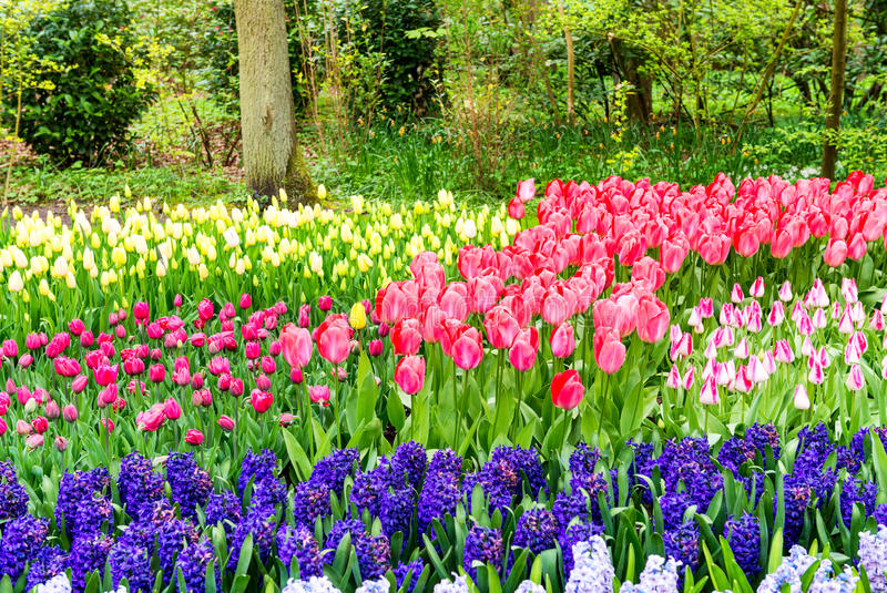 Wonderful tulips field of Keukenhof, Netherlands.  royalty free stock photography