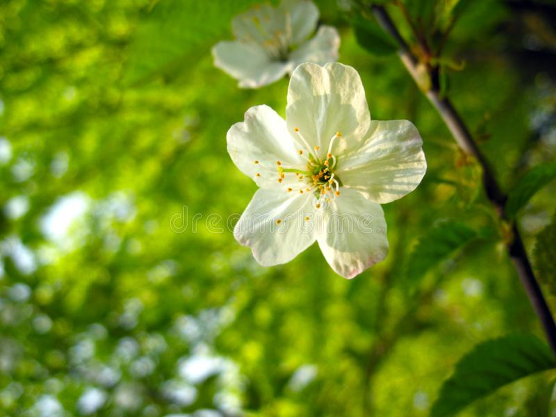 A wonderful white flower of cherry blossoms.  stock image