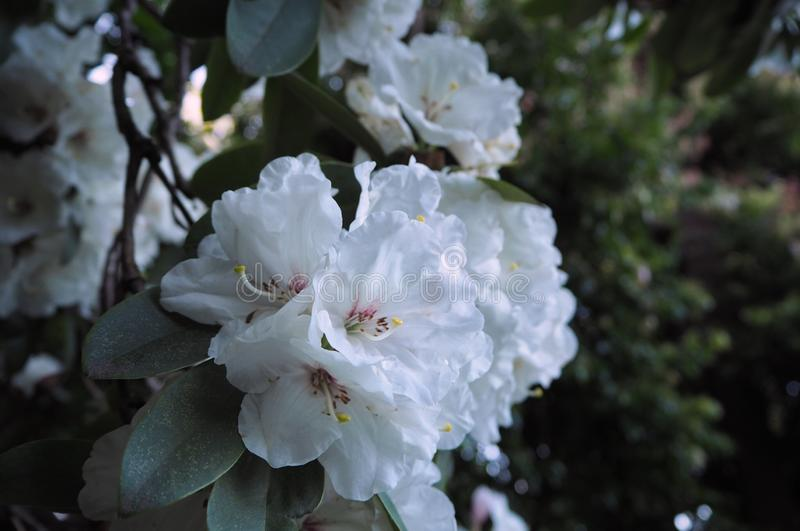 Wonderful white rhododendron flowers on bokeh background. At Botanic Garden in Melbourne, Australia. Beautiful Flower stock images
